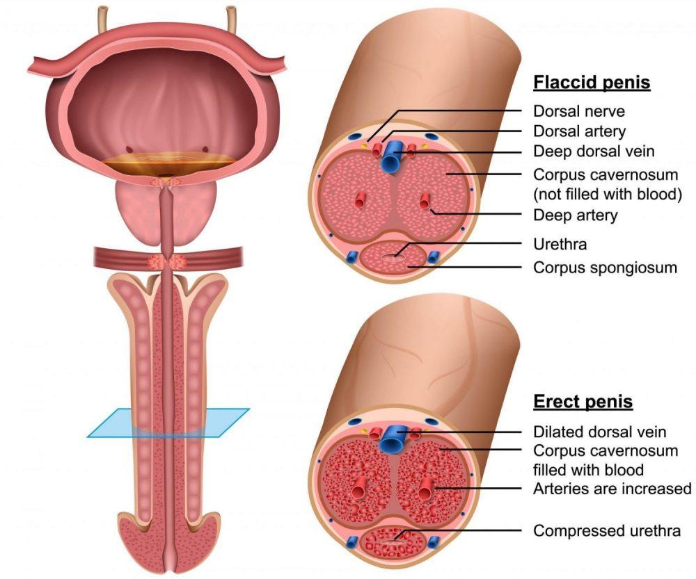 diagram of the penis